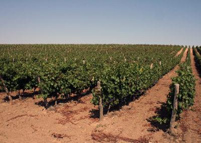 grapes (5)